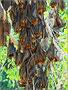 Die Bäume hängen voll mit Fledermäusen