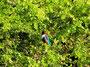 Braunliest - Eisvogel, der von der Türkei bis zu den Philippinen verbreitet ist