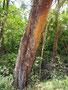 Juckreiz - die Rinde diese Scheuerbaumes in in irleidenschaft gezogen