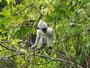 Baby Hanuaman Langur