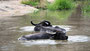 Wasserbüffel beim Bad
