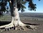 Einsam - Baum auf Lavakegel