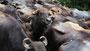 Domestizierte Wasserbüffel - Herde in Tissamaharama