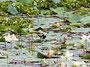Seerosen mit Wasservogel