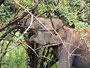 Elefant beim Hartholzfrühstück