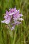 orchis tridentata.
