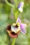 Ophrys oxyrrhynchos.