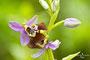 Ophrys oxyrrhynchos calliantha