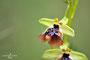 Ophrys oxyrrhynchos