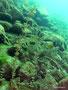 Ährige Tausendblatt (Myriophyllum spicatum)