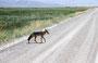Ein Coyote kreuzt unseren Weg