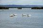 Pelikane im Lower Klamath NWR