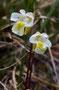 Gemeines Fettkraut (P. vulgaris)