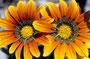 Ausgewilderte Gartenblumen