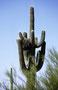 Die gibt es nur in Arizona: Saguaro mit Falkennest (bewohnt!)