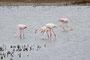 Flamingos, Camargue, FR