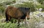 Wildpferde - Sardinien - Giara di Gestura  (39.761663, 8.952692)