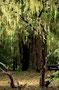 Zwischendrin ein schöner Campground im Shasta-Trinity National Forest
