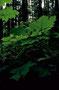 Iron Creek CG - Mitten im Regenwald südl. vom Mount Rainier NP, WA