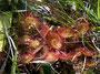 Sonnentau (wahrscheinlich Drosera echinoblastus) - CH, östl. Oberalppass