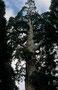 General Sherman Tree soll der größte lebende Baum auf der Erde sein (geschätztes Alter 1900-2500 Jahre), nicht so extrem hoch, aber von untglaublichem Stammdurchmesser - Vermessungen ergaben ca 1500 Kubikmeter Holzvolumen!