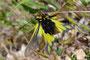 Libellen-Schmetterlingshaft bei der Paarung