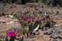 Über die Kolob Rd. auf das Dach des Zion - Opuntien auf eiem alten Lava-Flow