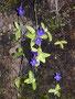 Dünnsporniges Fettkraut (Pinguicula leptoceras)