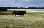 Sardinien - Giara di Gestura - temporäre Wassertümpel (Pauli) - halbwilde schöne Kühe