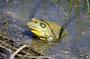 Im Bosque de Apache NWR - leider zur falschen Jahreszeit - nur eine Handvoll Vögel, aber dafür ein fetter Ochsenfrosch (ca 2Kg ?)
