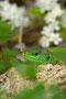 Smaragdeidechse/Smaragdfirfisle