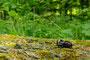 Nashornkæfer/Nesehornbille