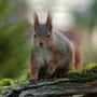 Eichhörnchen / Ekorn