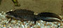 Kammmolch/Stor salamander