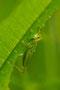 Grünes Heupferd/Gresshopper