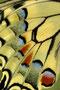 Schwalbenschwanzflügel/Svalestjertvinge