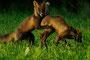 Junge Rotfüchse / Unge rødrever