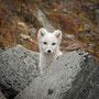 Polarfuchs / Fjellrev (Dovre)