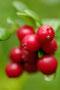 Minischnecke auf Preiselbeeren/Minisnegle på tyttebær