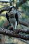 Fischadler / Fiskeørn