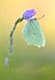 Der Zitronenfalter (Gonepteryx rhamni)