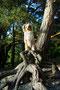 15.06.2012 - Foxi auf  Kiefer-Würzeln