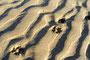 Foxis Spuren im Sand - Odeceixe, Fluss-Strand
