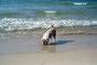 15.06.2012 - Am Strand findet Hund einiges, was interessant ist!