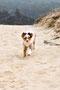 Foxi läuft über die Düne (Südfrankreich)