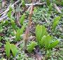 絶滅危ぐ植物トネハナヤスリとヨシの芽生え