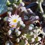 Frithia pulchra / humilis