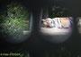 Sibirischer Tiger (Neofelis tigris altaica) - Zoo Schönbrunn
