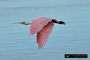 Roseate Spoonbill / Rosa Löffler; Ding Darling National Wildlife Refuge; Sanibel Island; Florida