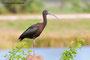 Glossy Ibis; Viera Wetlands; Melbourne; Florida